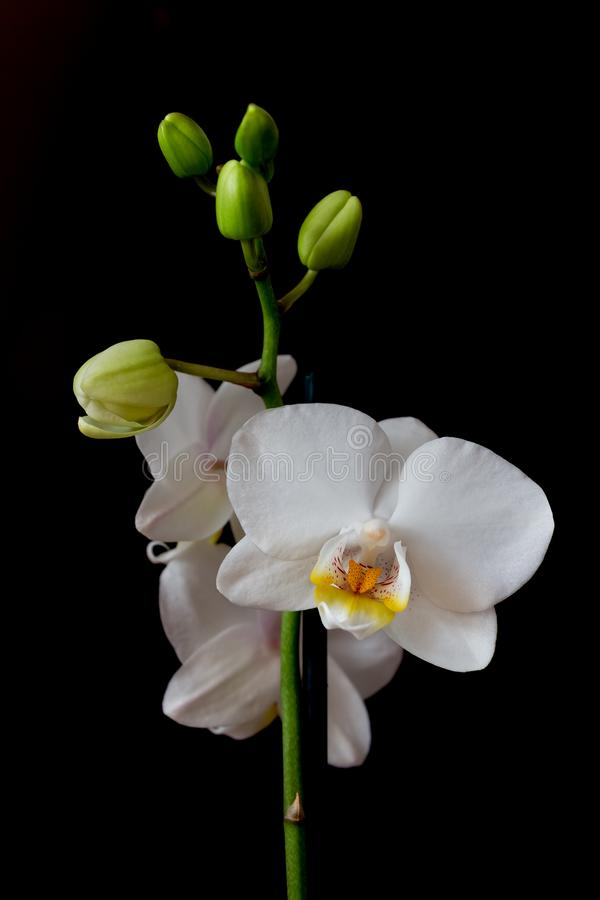 Phalaenopsis white orchid flower on a black background royalty free stock photo