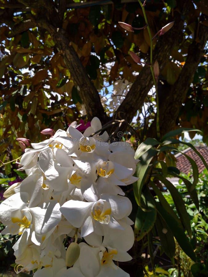 Phalaenopsisamabilis royaltyfri fotografi
