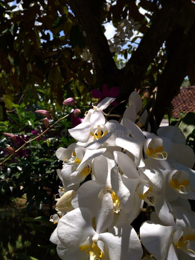 Phalaenopsisamabilis royaltyfri foto