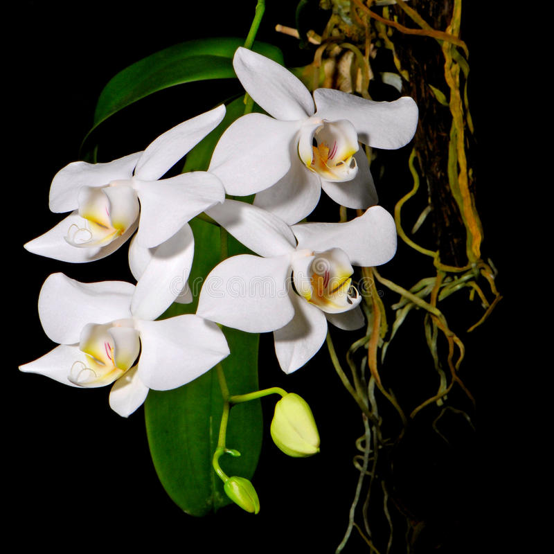Phalaenopsisamabilis stock afbeelding