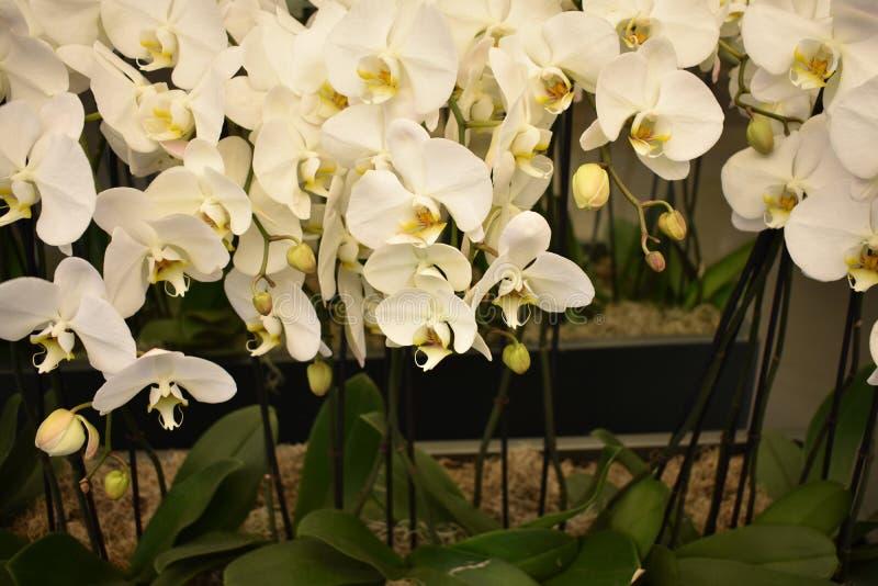 Phalaenopsisamabilis, de maanorchidee stock foto's