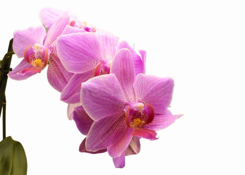 Phalaenopsislilor royaltyfri foto