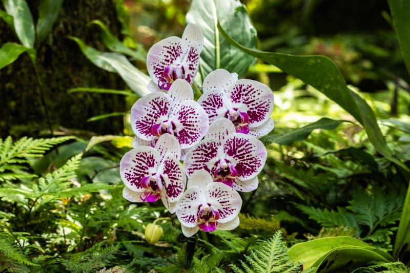 Phalaenopsismalen formade orkidér Vita och purpurfärgade kronblad; ormbunkar och gröna sidor i bakgrund hawaii hilo arkivfoton