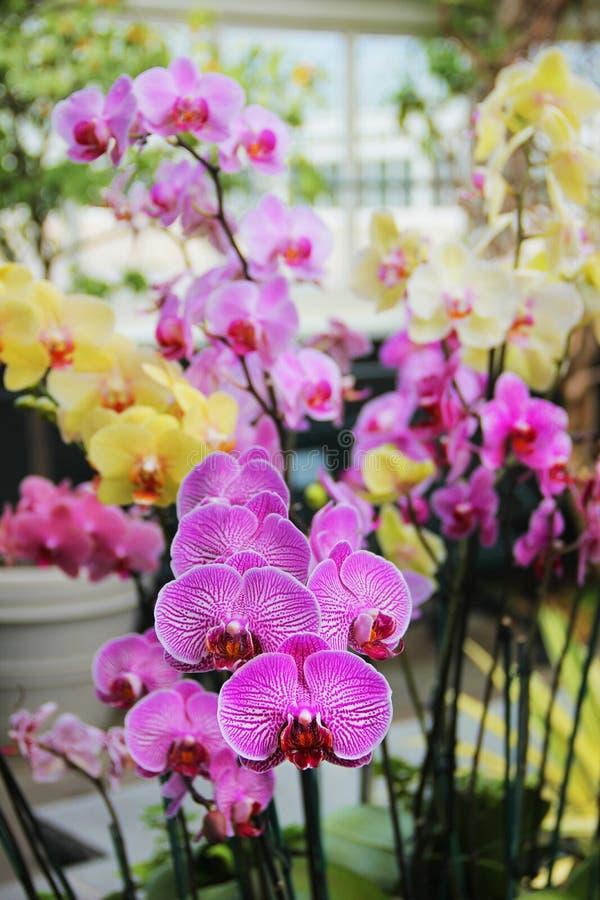Phalaenopsisorchideeën royalty-vrije stock afbeelding