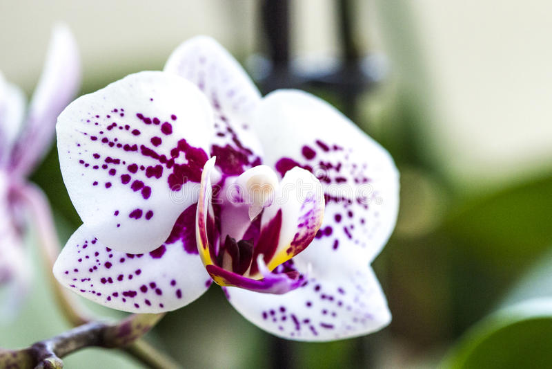 Phalaenopsisorkidéblomma royaltyfria bilder