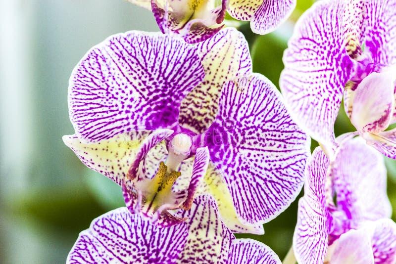 Phalaenopsisorkidéblommor arkivfoto