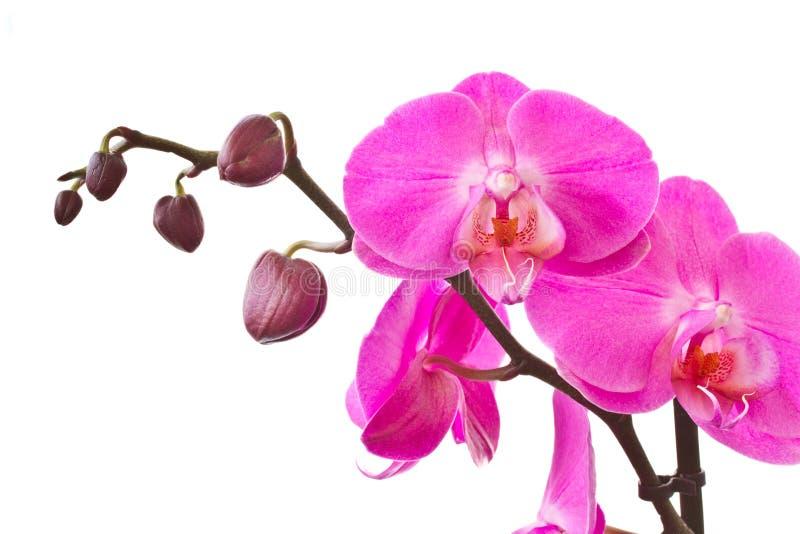 phalaenopsispurplesprig arkivbilder