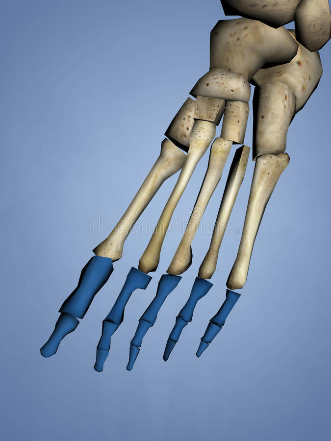 Phalanges of Foot, 3D Model stock images