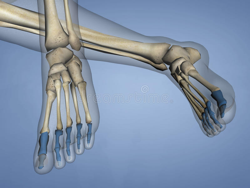 Phalanges of Foot, 3D Model royalty free stock photos
