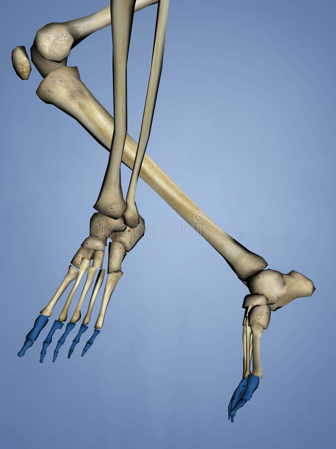 Phalanges of Foot, 3D Model stock photography