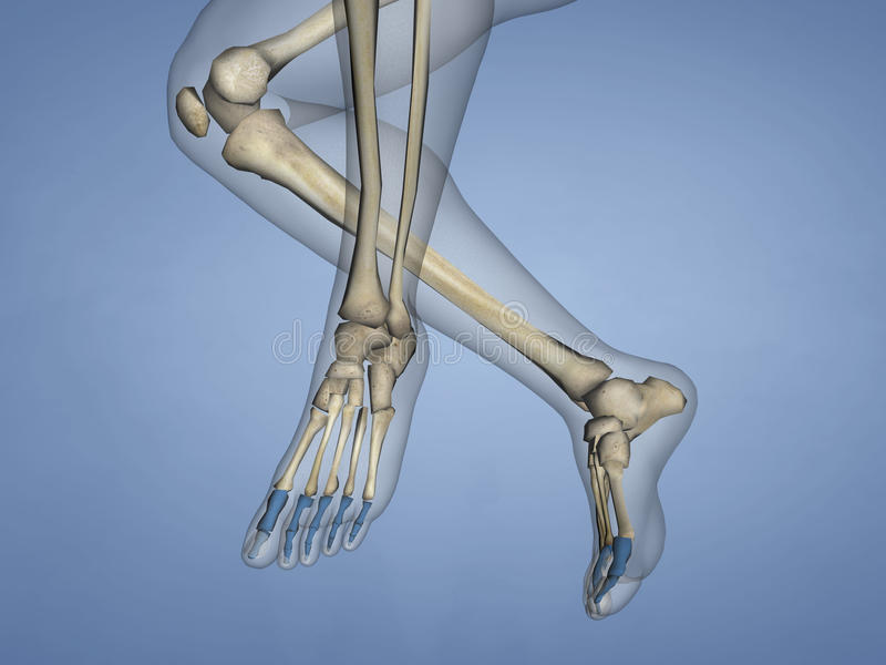 Phalanges of Foot, 3D Model royalty free stock photo