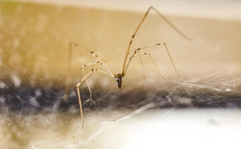 Phalangioides nacionales 2 de Pholcus de la araña imagen de archivo