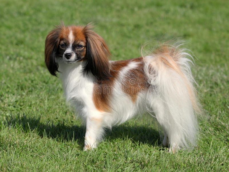 Phalene potomstw pies zdjęcie royalty free