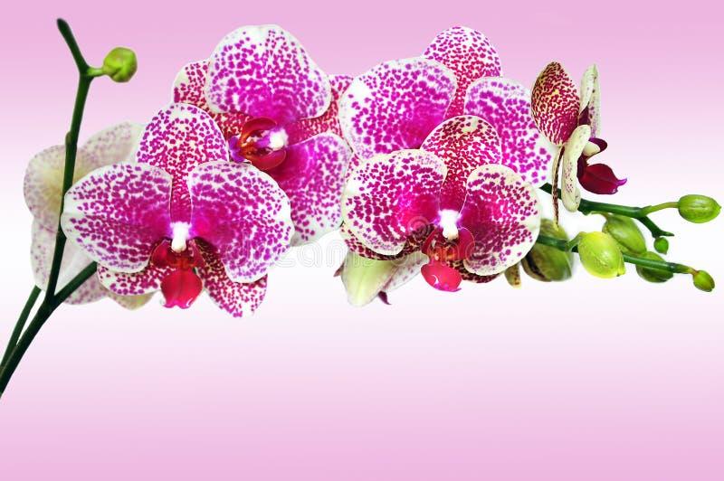 Phalenopsis manchado color de rosa de la orquídea imagenes de archivo