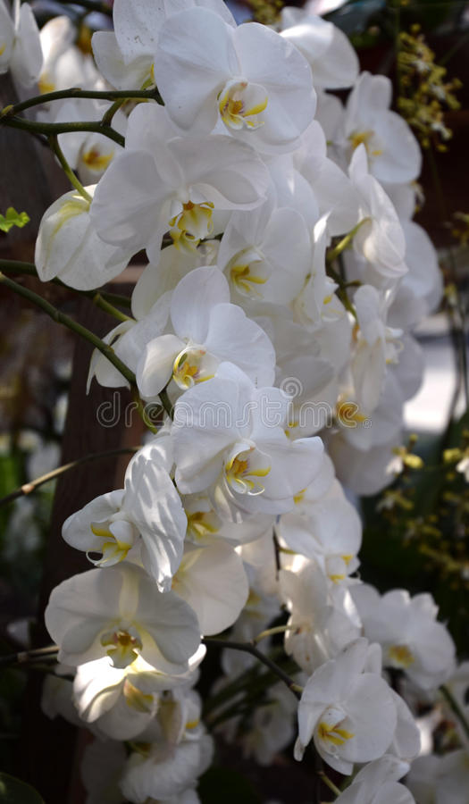 Phalenopsis orchid white. A beautifull white orchid in bloom stock photos