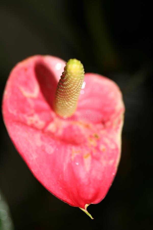 Phallische Blume mit dem kontrastierenden Adern lizenzfreie stockfotografie