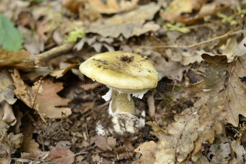 Phalloides do amanita, cogumelo venenoso mortal imagem de stock royalty free