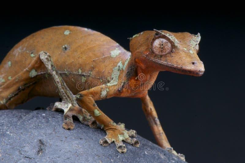 phantasticus Foglia-munito Uroplatus/del geco fotografia stock libera da diritti