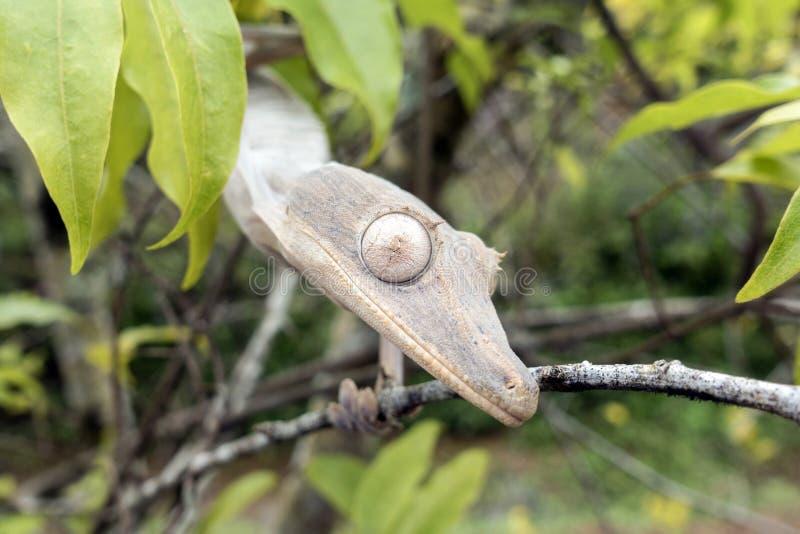 phantasticus Folha-atado do geco/Uroplatus fotografia de stock royalty free