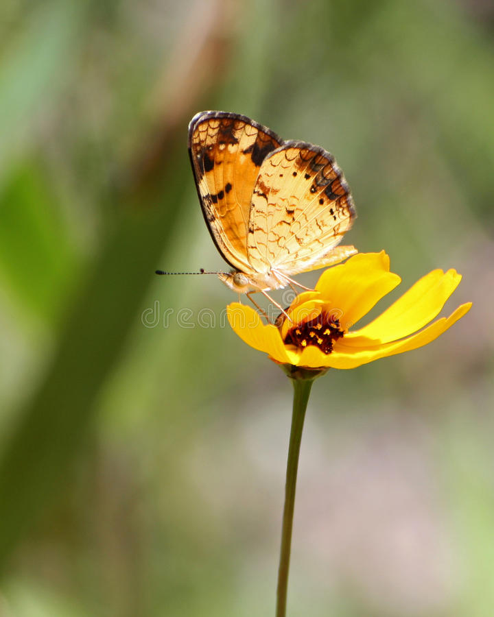 Phaon Crescent Butterfly Pollenating Coreopsis imagenes de archivo