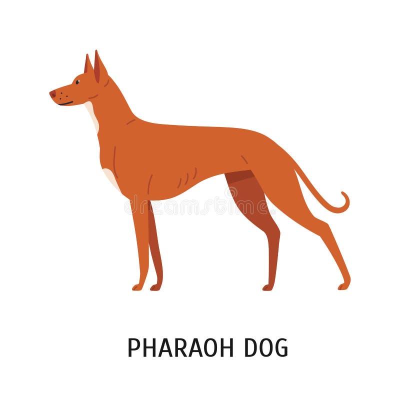 Pharao-Jagdhund Reizender netter Jagdhund oder sighthound mit dem kurzhaarigen Mantel lokalisiert auf weißem Hintergrund herrlich stock abbildung