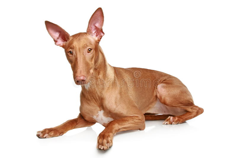 Pharaoh hound stock image