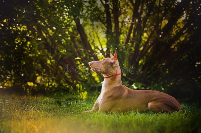 Pharaoh Hound brown dog lies and dreams royalty free stock image