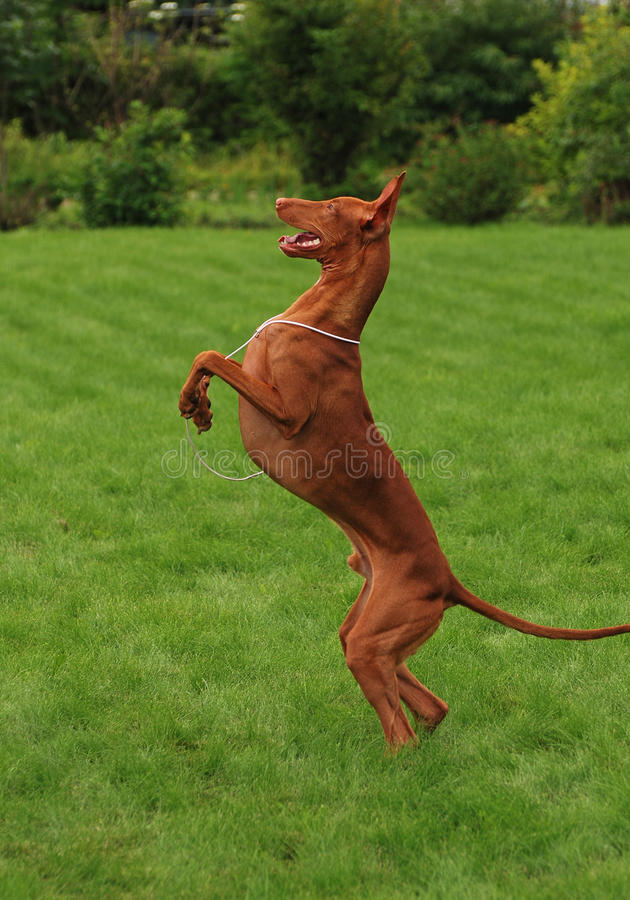 Free Pharaoh Hound Dancing On A Green Grass Royalty Free Stock Photo - 11627635
