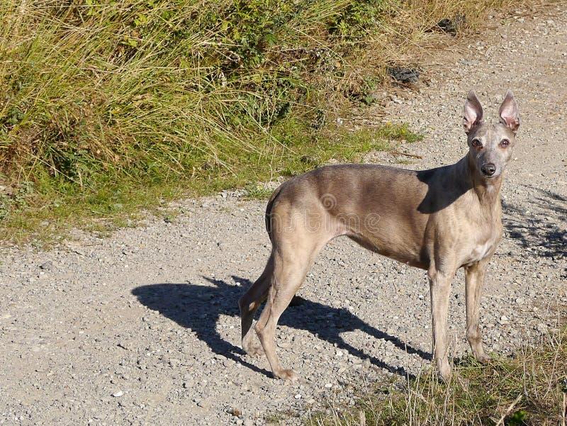Download Pharaoh Hound Stood On Gravel Path Stock Image - Image: 33769979