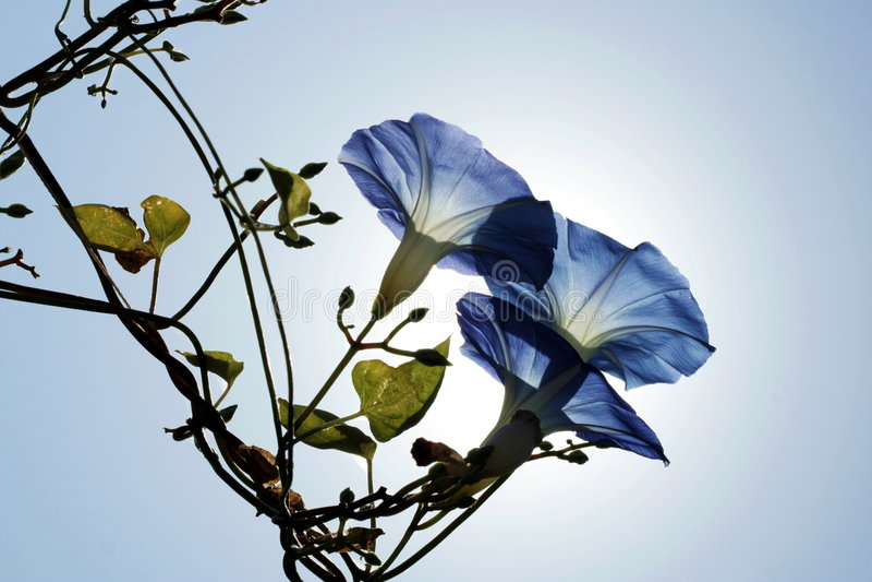 Download Pharbitis rubro-caerulea stock image. Image of flowers - 7728457