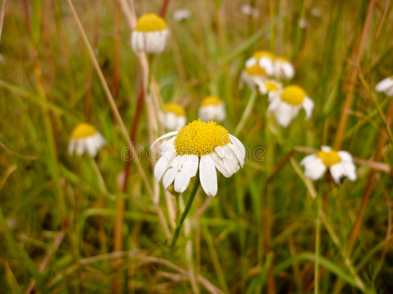 Pharmaceutical camomile, Matricaria chamomilla royalty free stock photo