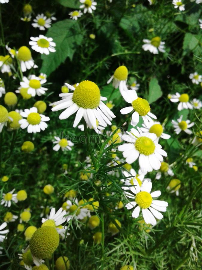 Pharmazeutische Kamille Kleine hübsche Blumen der mädchenhaften Blume Empfindliche empfindliche weiße Blumenblätter Helle gelbe B stockbild