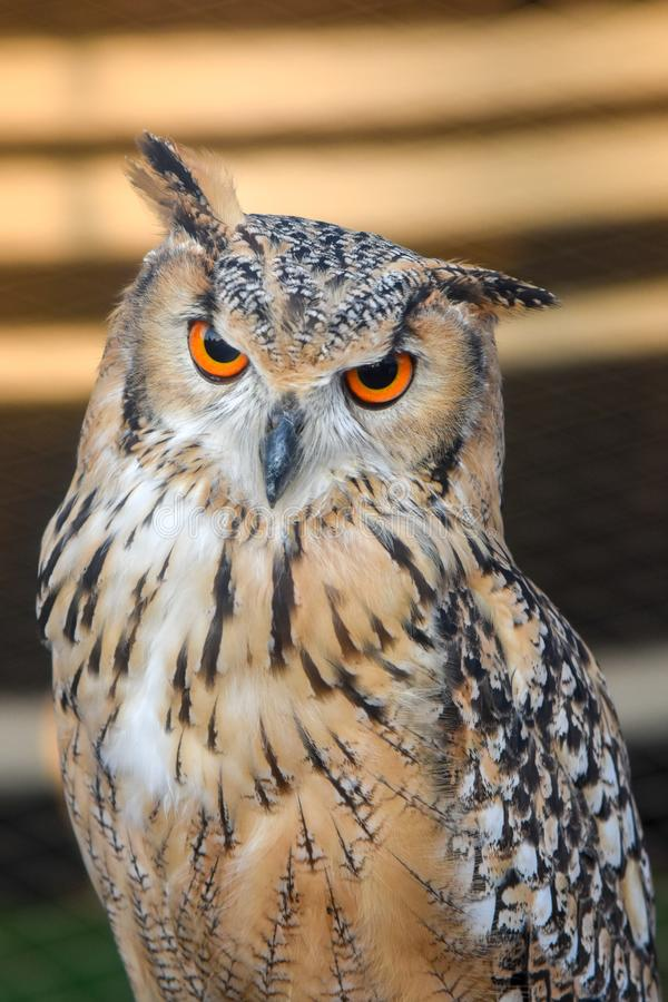 Pharoah-Eagle Owl Up Close imagens de stock