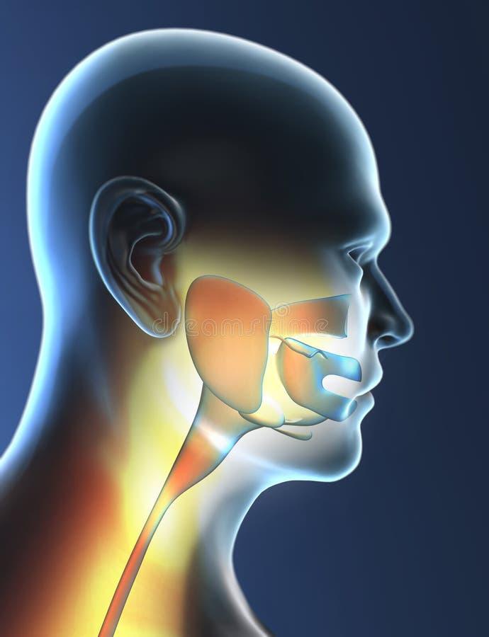 Pharynx, krtań, gardła rozognienie, promieniowanie rentgenowskie ilustracja wektor