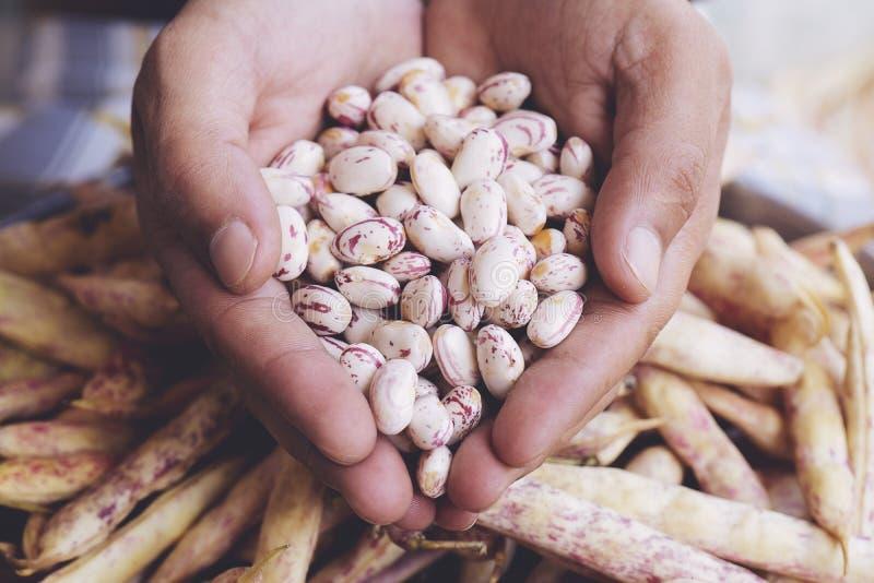 Phaseolus vulgaris är ett vetenskapligt namn på Sugar Bean legume arkivbild
