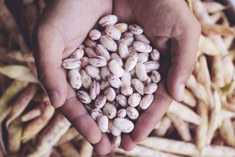 Phaseolus vulgaris är ett vetenskapligt namn på Sugar Bean legume arkivfoto