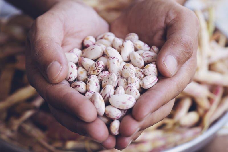 Phaseolus vulgaris es el nombre científico de la leguma de sugar bean foto de archivo libre de regalías