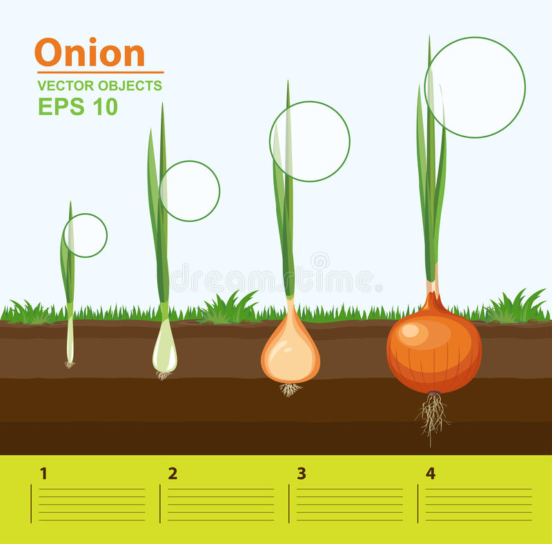 Phases of growth of a onion in the garden. Growth, development and productivity of onion. Growth stage. Vector illustration. Phases of growth of a onion in the royalty free illustration