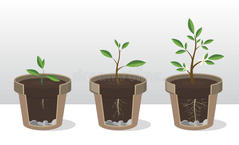Phases of growth of a plant with the roots and shoots. Rooted Sprout in flowerpot royalty free illustration
