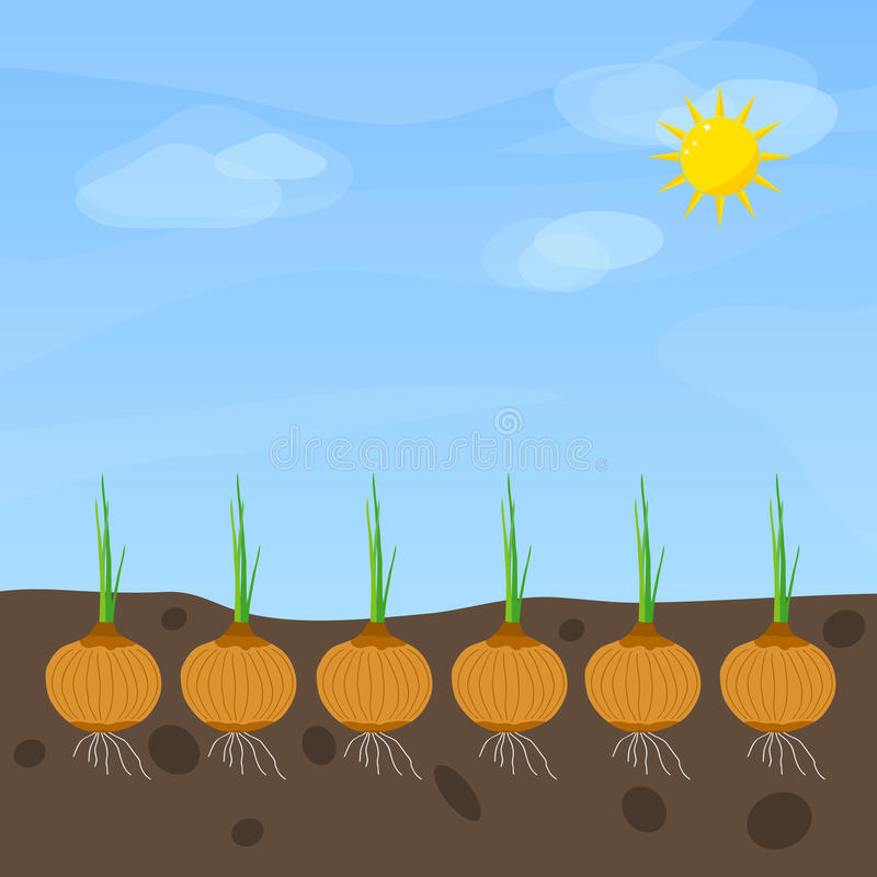 Phases of onion growth royalty free illustration