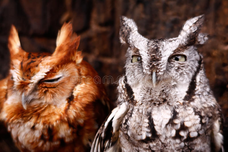 Phases rouges et grises de hibou de cri strident oriental mignon photos libres de droits