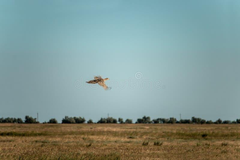 Phasianus colchicus. The common pheasant Phasianus colchicus is a bird in the pheasant family Phasianidae stock photography