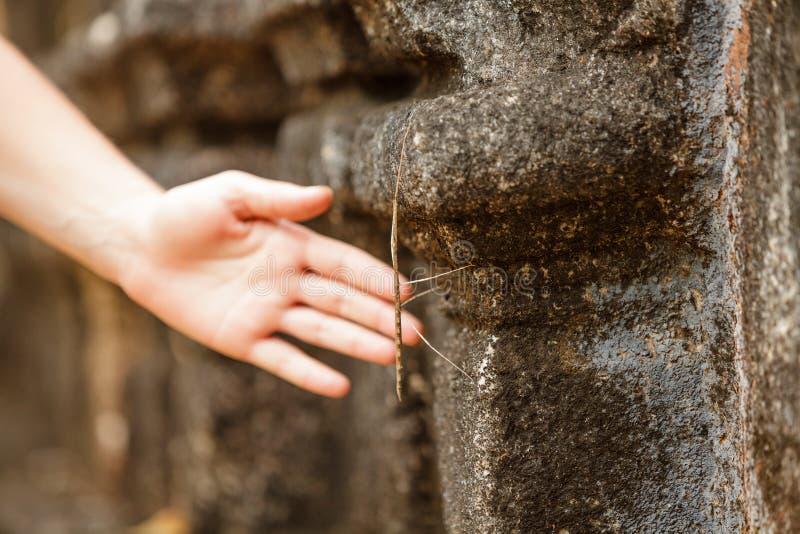 Phasmatodea que rasteja na parede do templo antigo imagens de stock royalty free