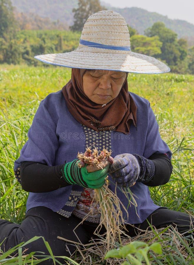 Phayao Tahiland - 2019-03-09 - kvinnan sk?rdar r?disor arkivbild