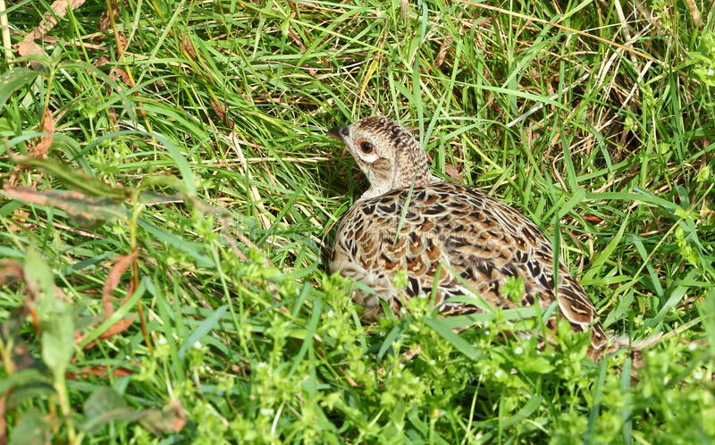Pheasant. A female pheasant sitting in grass in morning sun stock photo