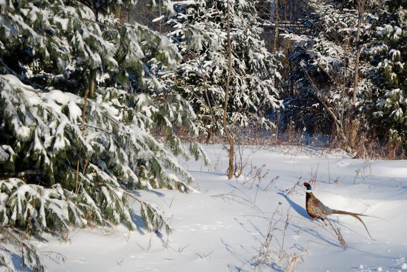 pheasant arkivfoton