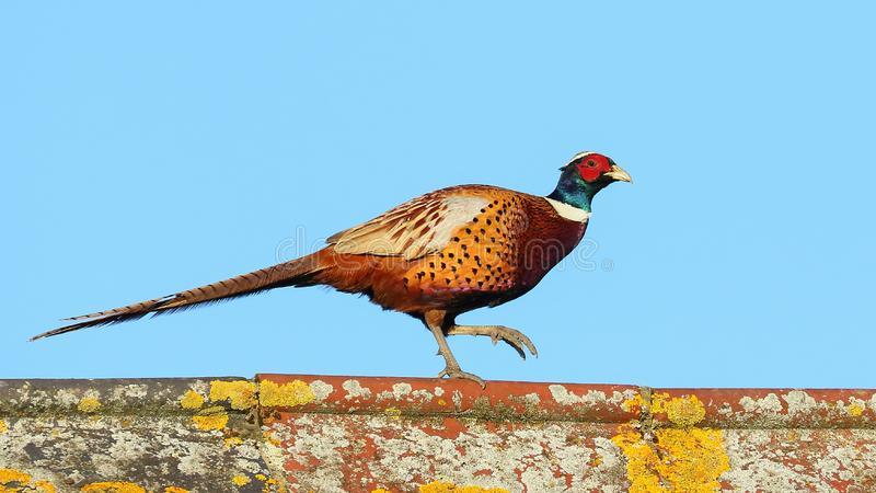 Pheasant On The Barn Roof. Pheasant on the barn roof at Lodge Farm. Ive not seen pheasants on the roof before. Taken February 2019 stock images