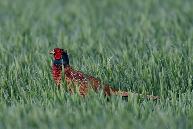 Pheasant in the grainfield, spring stock photo