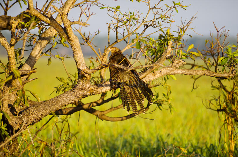 Pheasant Coucal. (Centropus phasianinus), bird perched on a tree Yellow Waters billabong, Kakadu National Park, Northern Territory, Australia royalty free stock images