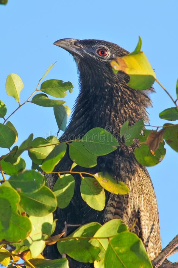 Pheasant coucal stock photo
